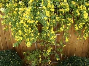 Yellow flowers on outdoor fence trellis